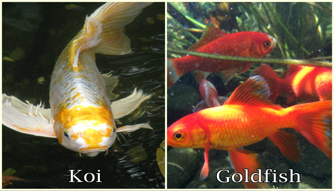 Pond help articles south jersey camden burlington nj for Koi und goldfisch